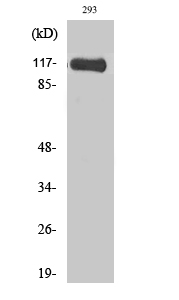 Fig. Western Blot analysis of various cells using Hrs Polyclonal Antibody diluted at 1:1000.