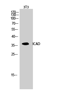 Fig.2. Western Blot analysis of 3T3 cells using ICAD Polyclonal Antibody diluted at 1:1000.