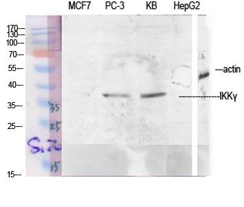 Fig.1. Western Blot analysis of various cells using IKKγ Polyclonal Antibody diluted at 1:1000.