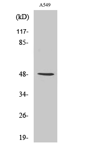Fig.2. Western Blot analysis of RAW264.7 cells using IKKγ Polyclonal Antibody diluted at 1:1000.