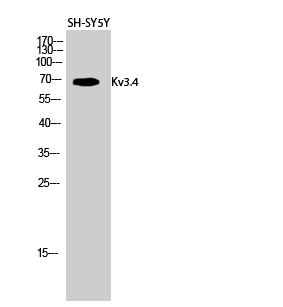 Fig.2. Western Blot analysis of SH-SY5Y cells using Kv3.4 Polyclonal Antibody diluted at 1:500.