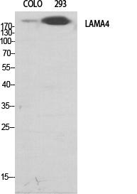 Fig.1. Western Blot analysis of various cells using Laminin α-4 Polyclonal Antibody diluted at 1:500.
