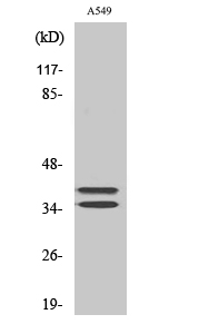 Fig. Western Blot analysis of various cells using LAT Polyclonal Antibody diluted at 1:500.
