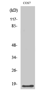 Fig. Western Blot analysis of various cells using LMO3 Polyclonal Antibody.