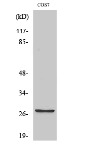 Fig.2. Western Blot analysis of COS7 cells using MMP-7 Polyclonal Antibody diluted at 1:500.