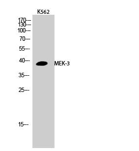 Fig.2. Western Blot analysis of K562 cells using MEK-3 Polyclonal Antibody.
