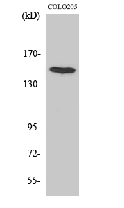 Fig. Western Blot analysis of various cells using MINK1 Polyclonal Antibody diluted at 1:1000.