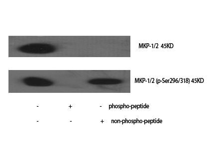 Fig.1. Western Blot analysis of various cells using MKP-1/2 Polyclonal Antibody diluted at 1:1000.