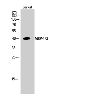 Fig.2. Western Blot analysis of Jurkat cells using MKP-1/2 Polyclonal Antibody diluted at 1:1000.