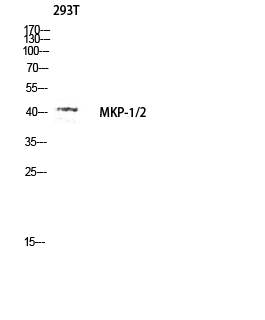 Fig.3. Western blot analysis of 293T lysate using MKP-1/2 antibody. Antibody was diluted at 1:1000.