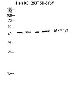 Fig.4. Western blot analysis of hela, KB, 293T, SH-SY5Y lysates using MKP-1/2 antibody. Antibody was diluted at 1:1000.