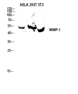 Fig.3. Western blot analysis of hela, 293T, 3T3 lysates using MMP-1 antibody. Antibody was diluted at 1:1000.
