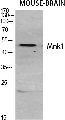 Fig.1. Western Blot analysis of various cells using Mnk1 Polyclonal Antibody diluted at 1:500.