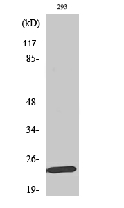 Fig. Western Blot analysis of various cells using Mob1A Polyclonal Antibody.