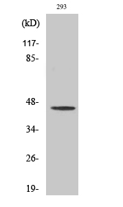 Fig. Western Blot analysis of various cells using MOR-1 Polyclonal Antibody diluted at 1:2000.