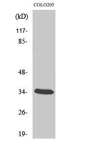 Fig.2. Western Blot analysis of COLO205 cells using MOX-2 Polyclonal Antibody diluted at 1:2000.