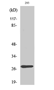 Fig. Western Blot analysis of various cells using MRP-L16 Polyclonal Antibody diluted at 1:2000.