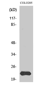 Fig. Western Blot analysis of various cells using MRP-L40 Polyclonal Antibody diluted at 1:1000.