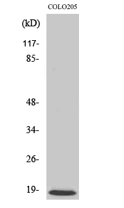Fig. Western Blot analysis of various cells using MRP-L50 Polyclonal Antibody.