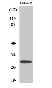 Fig. Western Blot analysis of various cells using MRP-L9 Polyclonal Antibody.