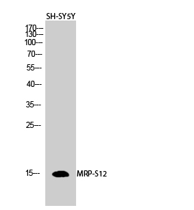 Fig.2. Western Blot analysis of SH-SY5Y cells using MRP-S12 Polyclonal Antibody diluted at 1:1000.