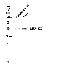Fig.2. Western blot analysis of Mouse-brain and 293T lysates using MRP-S22 antibody.