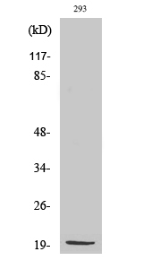 Fig. Western Blot analysis of various cells using MRP-S25 Polyclonal Antibody diluted at 1:2000.