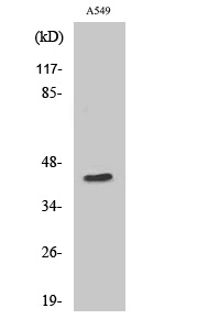 Fig. Western Blot analysis of various cells using MRP-S9 Polyclonal Antibody.