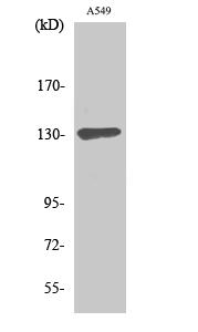 Fig. Western Blot analysis of various cells using Sin3B Polyclonal Antibody.