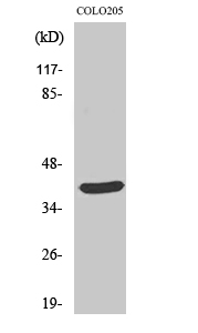 Fig. Western Blot analysis of various cells using MSY2 Polyclonal Antibody.