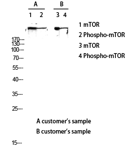 Fig.3. Western blot analysis of customer's lysate using mTOR antibody. Antibody was diluted at 1:2000.