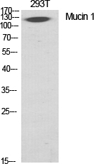 Fig. Western Blot analysis of various cells using Mucin 1 Polyclonal Antibody diluted at 1:1000.