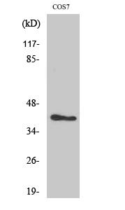 Fig. Western Blot analysis of various cells using MVK Polyclonal Antibody.