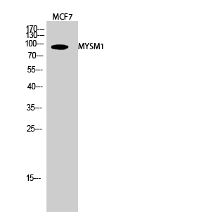 Fig.2. Western Blot analysis of MCF7 cells using MYSM1 Polyclonal Antibody diluted at 1:2000.