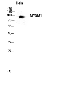 Fig.3. Western blot analysis of hela lysate using MYSM1 antibody. Antibody was diluted at 1:2000.