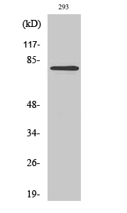Fig. Western Blot analysis of various cells using MZF-1 Polyclonal Antibody diluted at 1:2000.
