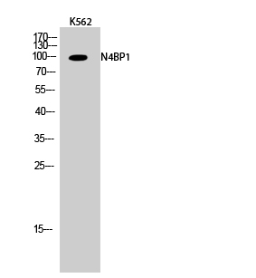Fig.2. Western Blot analysis of K562 cells using N4BP1 Polyclonal Antibody.