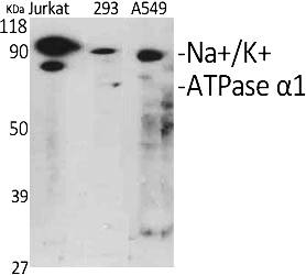 Fig.1. Western Blot analysis of various cells using Na+/K+-ATPase α1 Polyclonal Antibody diluted at 1:1000.