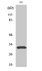 Fig. Western Blot analysis of various cells using NF-YB Polyclonal Antibody.