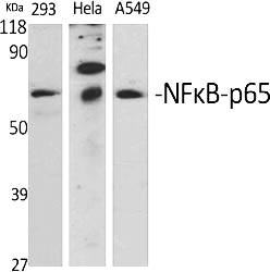 Fig.1. Western Blot analysis of various cells using NFκB-p65 Polyclonal Antibody diluted at 1:1000.