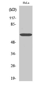 Fig.2. Western Blot analysis of Jurkat cells using NFκB-p65 Polyclonal Antibody diluted at 1:1000.
