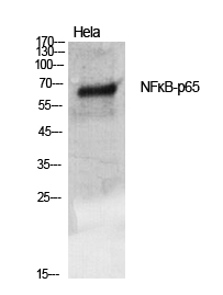 Fig.1. Western Blot analysis of various cells using NFκB-p65 Polyclonal Antibody diluted at 1:500.