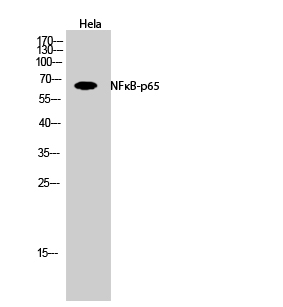 Fig.2. Western Blot analysis of hela cells using NFκB-p65 Polyclonal Antibody diluted at 1:500.
