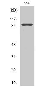 Fig.2. Western Blot analysis of HT29 cells using Nibrin Polyclonal Antibody.