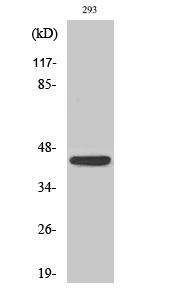 Fig. Western Blot analysis of various cells using NKp46 Polyclonal Antibody.
