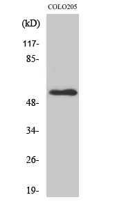 Fig. Western Blot analysis of various cells using NPY5-R Polyclonal Antibody.