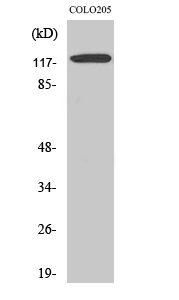 Fig. Western Blot analysis of various cells using Ob-R Polyclonal Antibody.