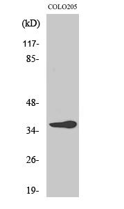Fig. Western Blot analysis of various cells using Olfactory receptor 10G6 Polyclonal Antibody.