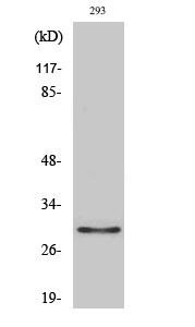 Fig. Western Blot analysis of various cells using Olfactory receptor 10J1 Polyclonal Antibody.