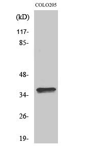 Fig. Western Blot analysis of various cells using Olfactory receptor 4A15 Polyclonal Antibody.